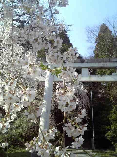 桜まんかい〜